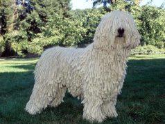komondor kutya
