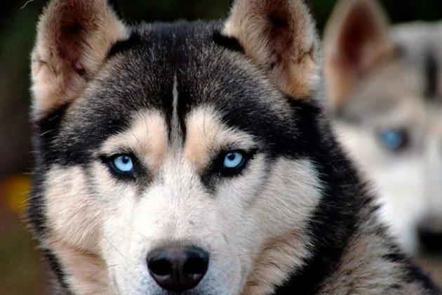 husky kutya