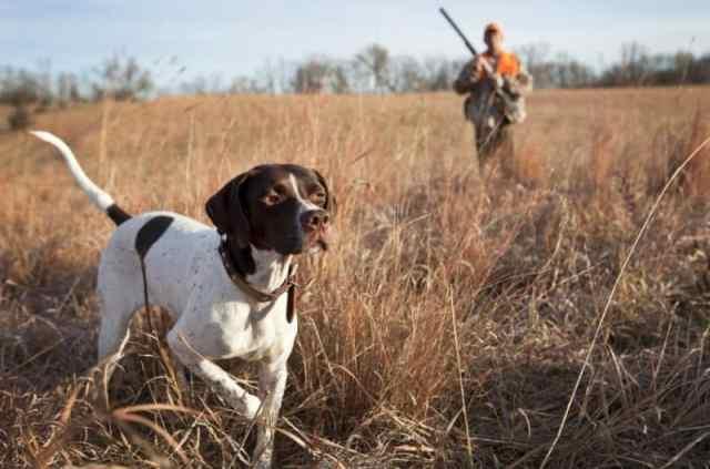 vadászkutya figyel