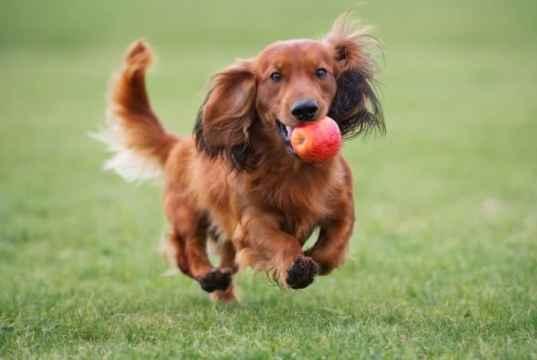 alma kutyáknak