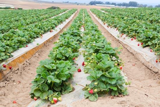 strawberry farming in kenya
