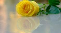 Flower Rose Reflection Petals  - NIL-Foto / Pixabay