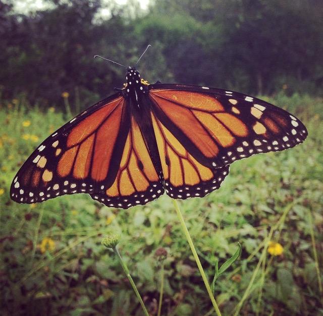 Monarch (2)_1474911891516.jpg