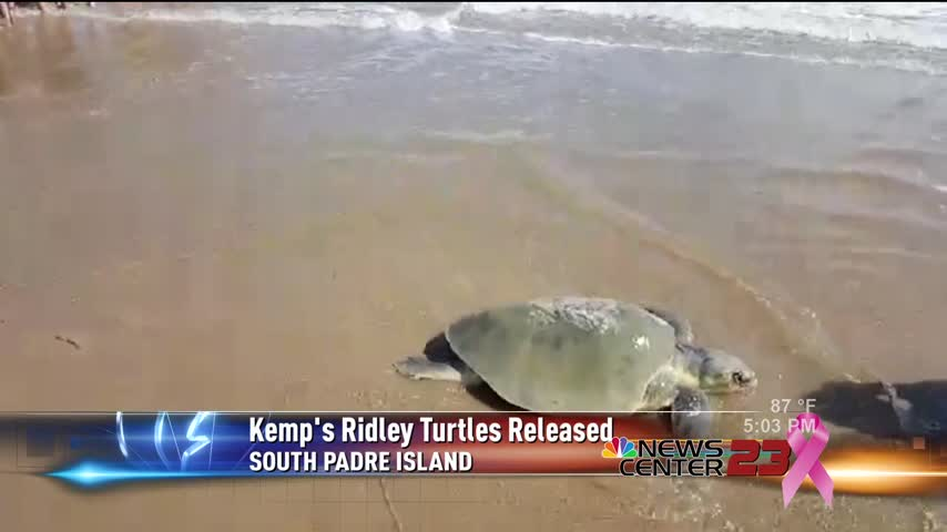 Rescued Kemp-s Ridley Sea Turtle Released_76410470-159532
