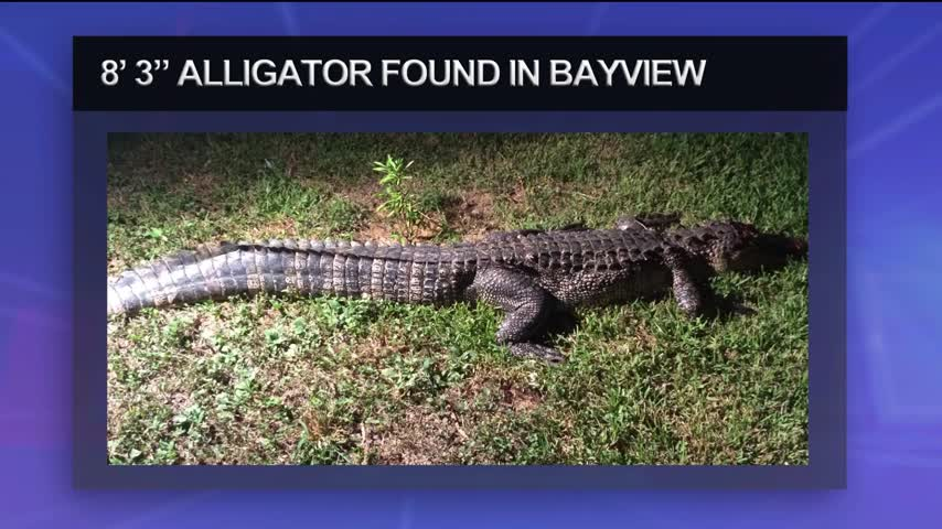 Alligator Found In The Bayview