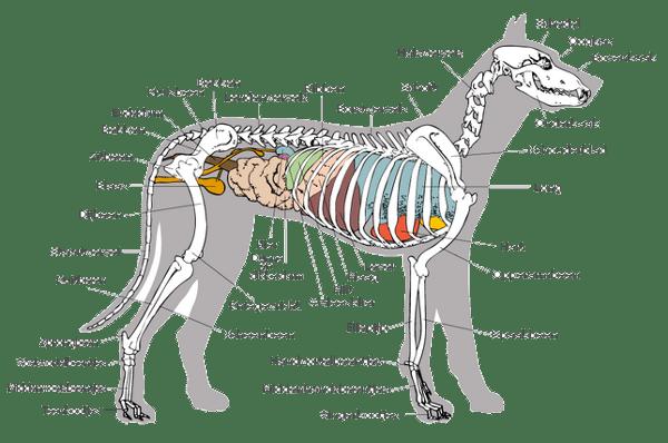 doorsnedehond