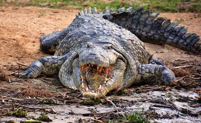 Nile crocodile in Murchison Falls National Park+Uganda+travel_with+Kwez+Outdoors