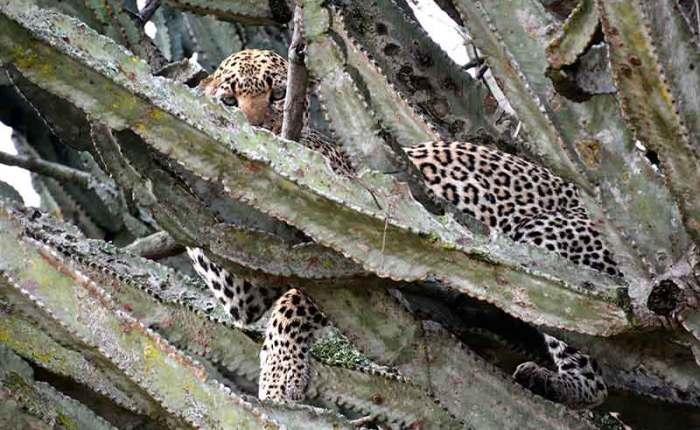 The elusive+leopard in Queen Elizabeth National Park+Uganda+travel_with+Kwez+Outdoors