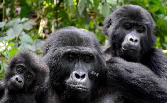 A family of mountain gorillas in Bwindi+Uganda+travel_with+Kwez+Outdoors