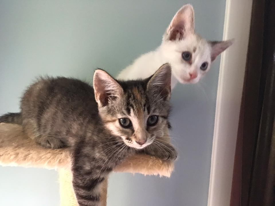 The white kitten, at right, is believed to have been stolen from the Austin Animal Center the morning of June 21, 2016_302488
