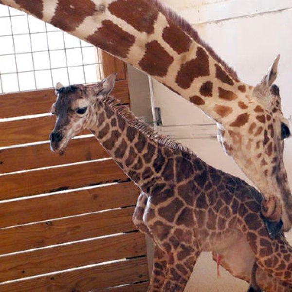 Pregnant Giraffe_459083