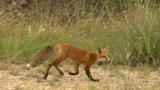 fox_495251
