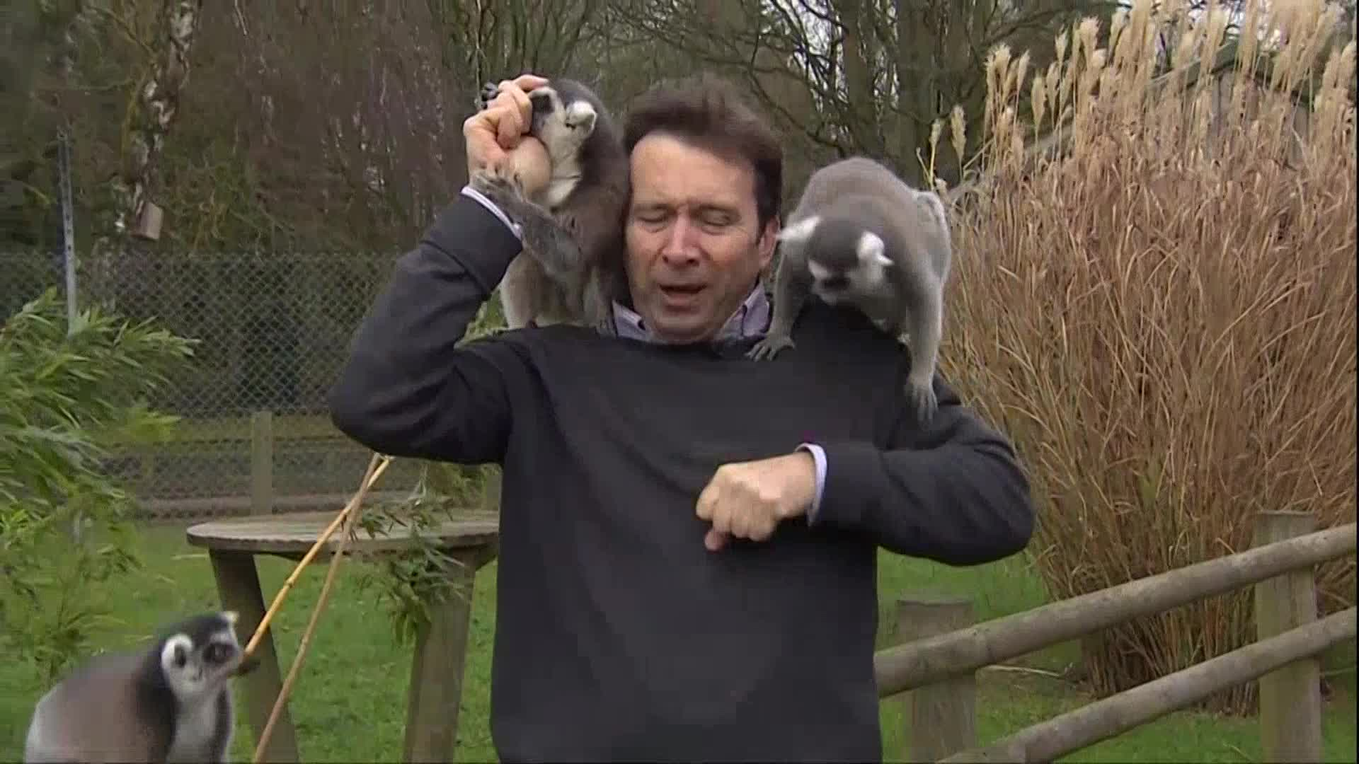 lemurs BBC reporter_612837