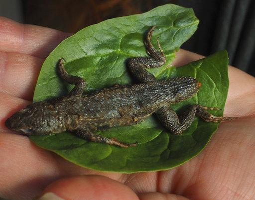 Lizard in Lettuce_630096