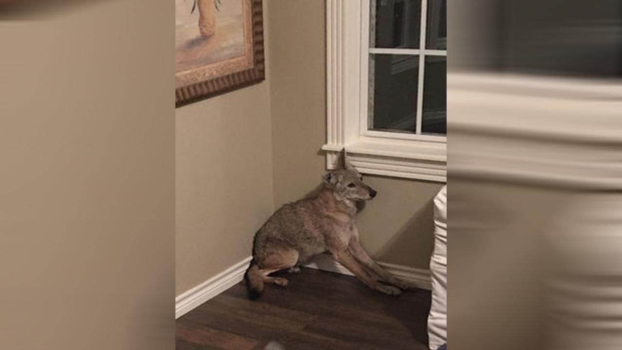 coyote_1536621912558_54904941_ver1.0_1280_720_1536670163211.jpg