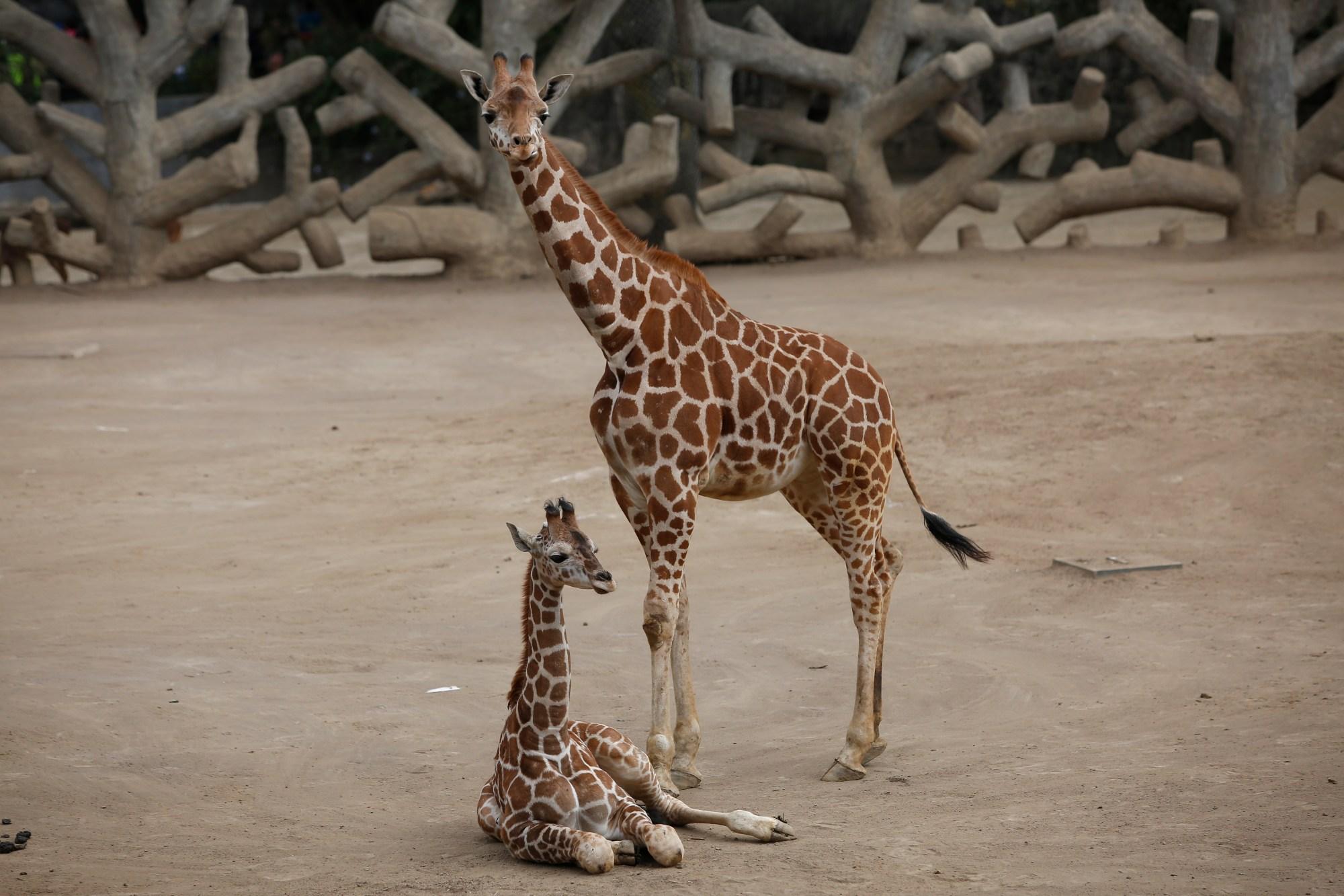 mexico baby giraffe