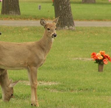 deer in graveyard_1525291603522.jpg.jpg
