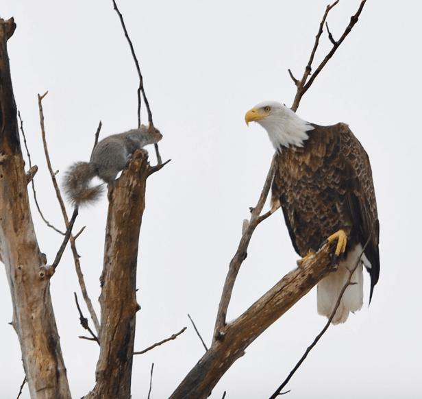 squirrel_eagle_1552666712057.png