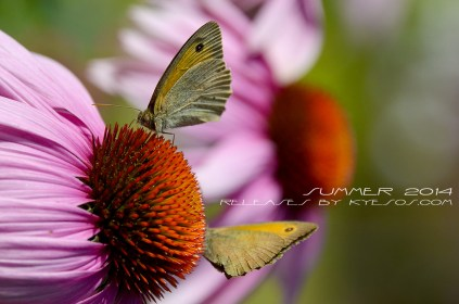 Butterfly close up on flower by Kyesos