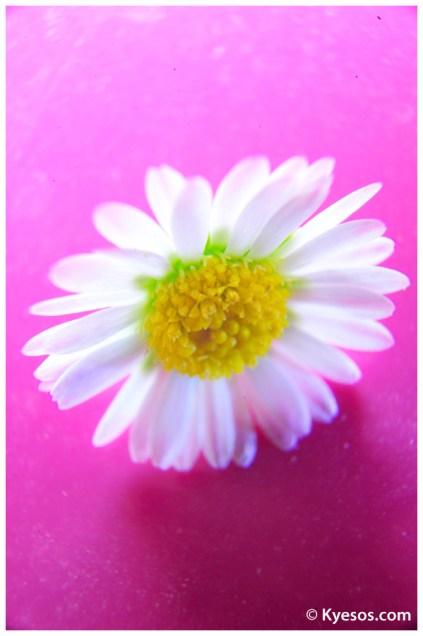 kyesos-petite-flower