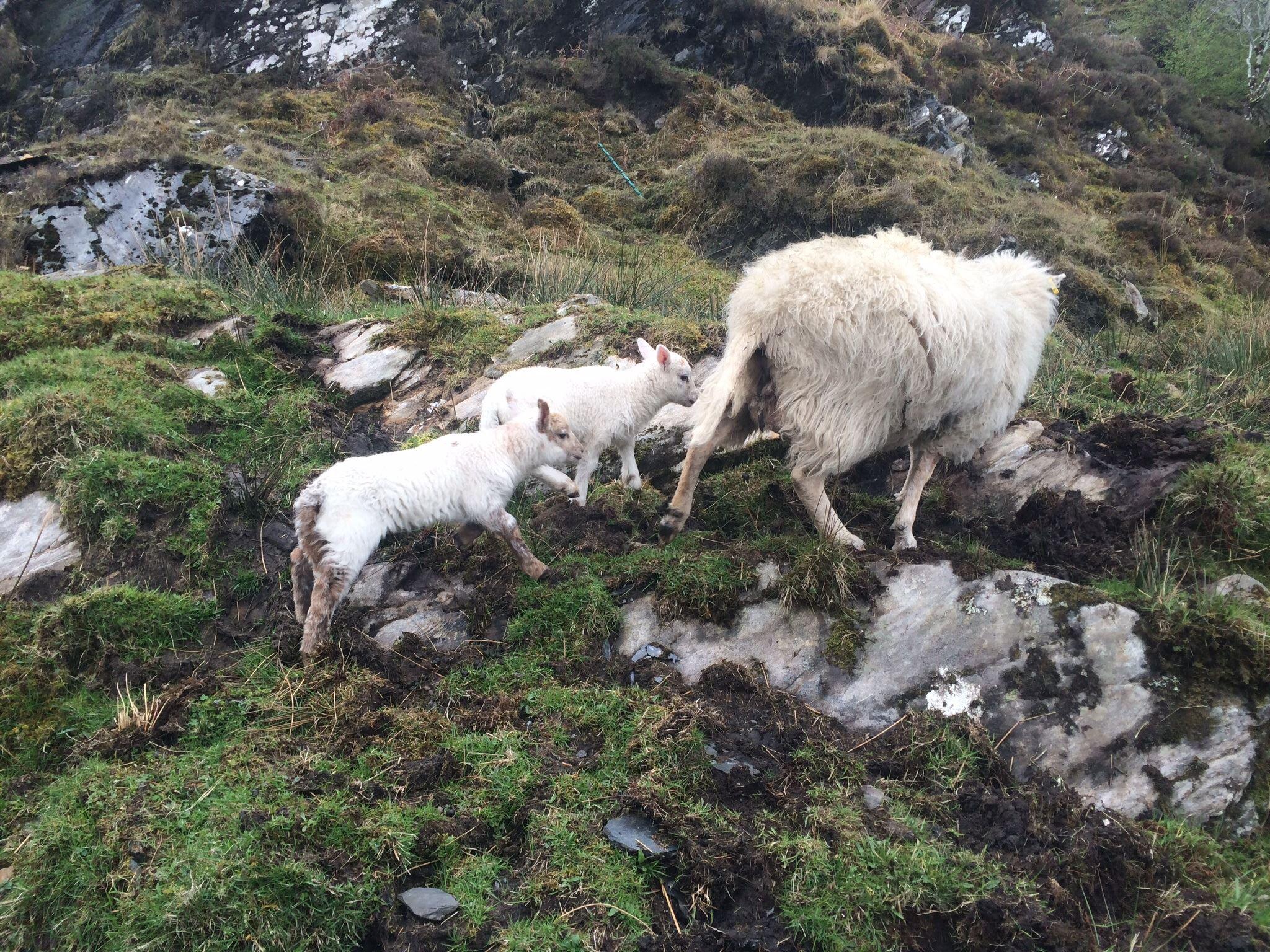 Lambs - Tarbet, Knoydart