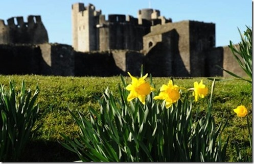davidsdayf daffodils castle