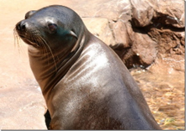 Holly sea lion
