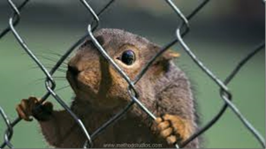 fenced squirrel