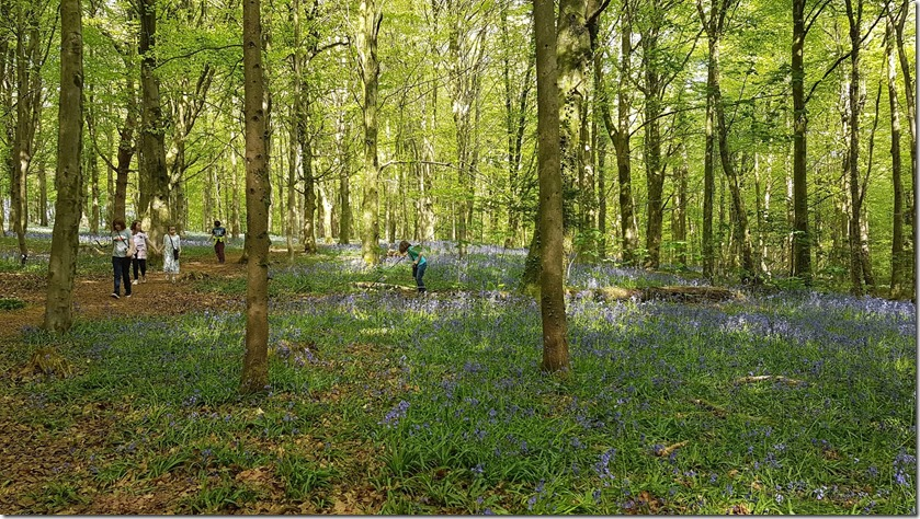 Bluebell woods 1 with kids