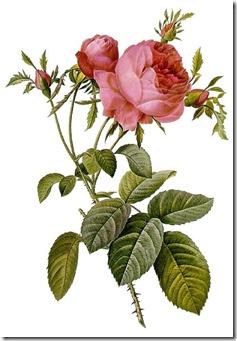 Rosa_centifolia_foliacea_17