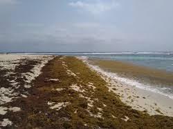 Region-agrees-to-establish-action-plan-to-tackle-sargassum-seaweed.jpg