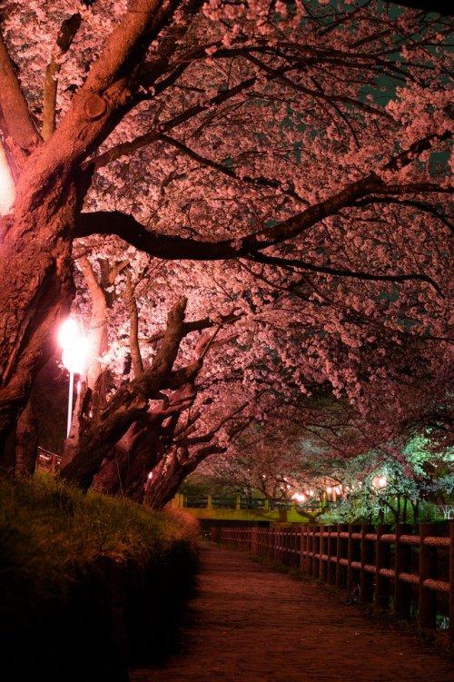 Night Cherry Blossom at Gyoya River, Tochigi Prefecture