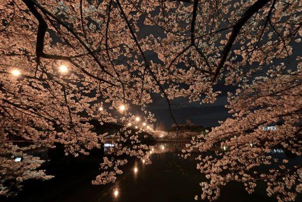 Night Sakura at Kema Sakuranomiya Park in Osaka