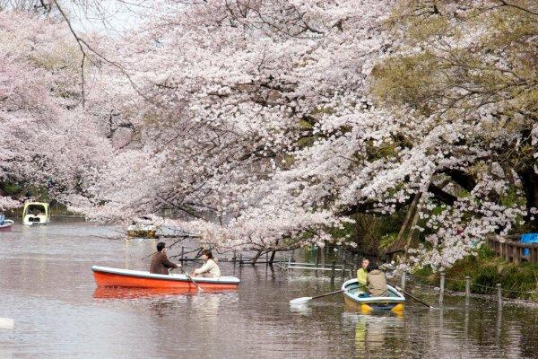 Inokashira_Park_Cherry_Blossom_Tokyo