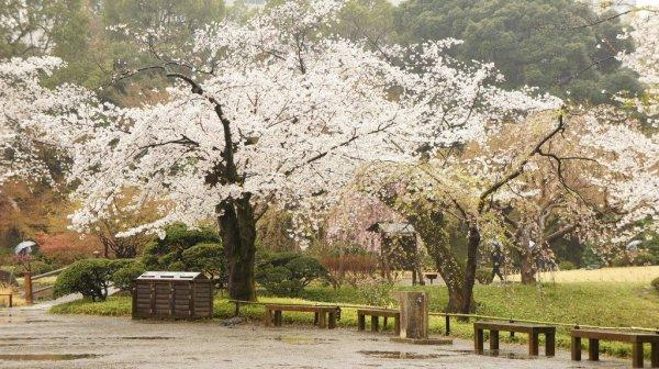 koishikawa_korakuen_cherry_blossoms