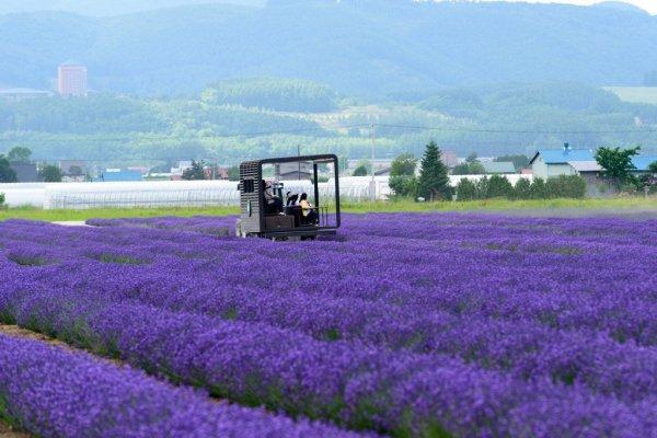 lavender_east _furano_hokkaido