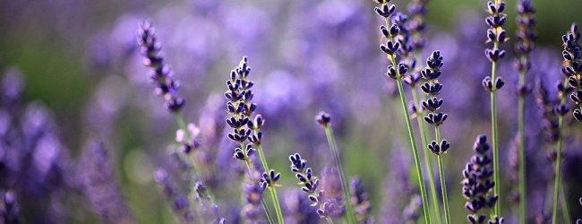 Lavender Season in Hokkaido 2020 | Visit Furano and Biei