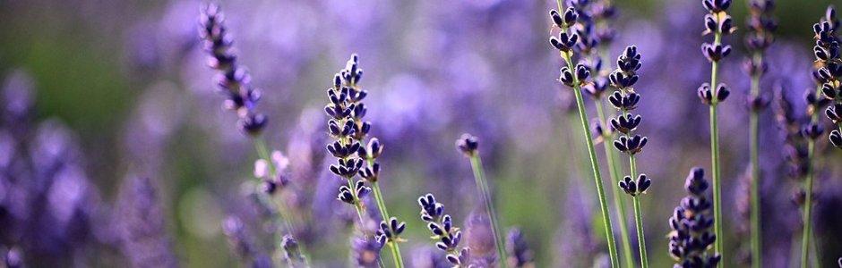 Lavender Season in Hokkaido 2019 | Visit Furano and Biei