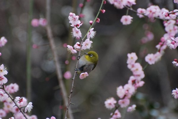 Japanese_White_Eye_and_Plum_Blossoms