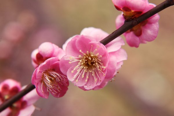 Pink_Plum_Blossom_Picture_Japan