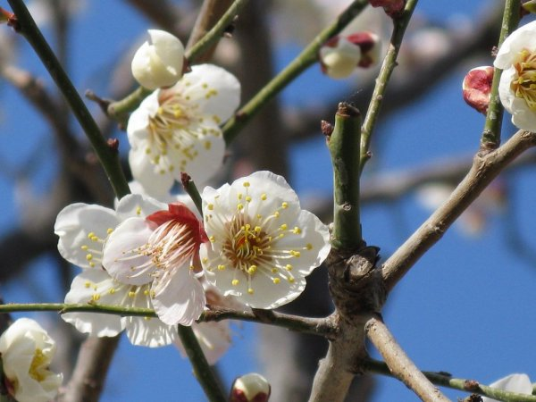 Plum_Blossom_Flower_Shape_Japan