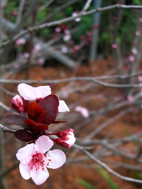 Plum_Blossom_Leaves_Japan