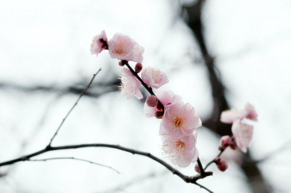 Plum_Ume_Blossom_in_Japan