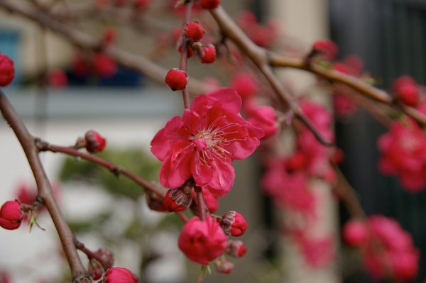 Red_Plum_Blossom_in_Nishinomiya_Japan