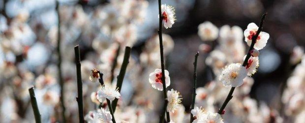 Plum Blossom in Japan | Ume Matsuri 2019