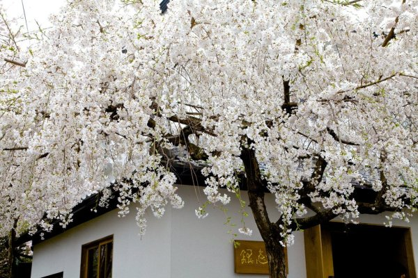 White_Cherry_Blossoms_in_Kyoto_Japan