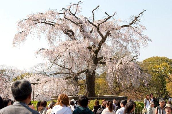 cherry_blossom_in_maruyama_park_kyoto