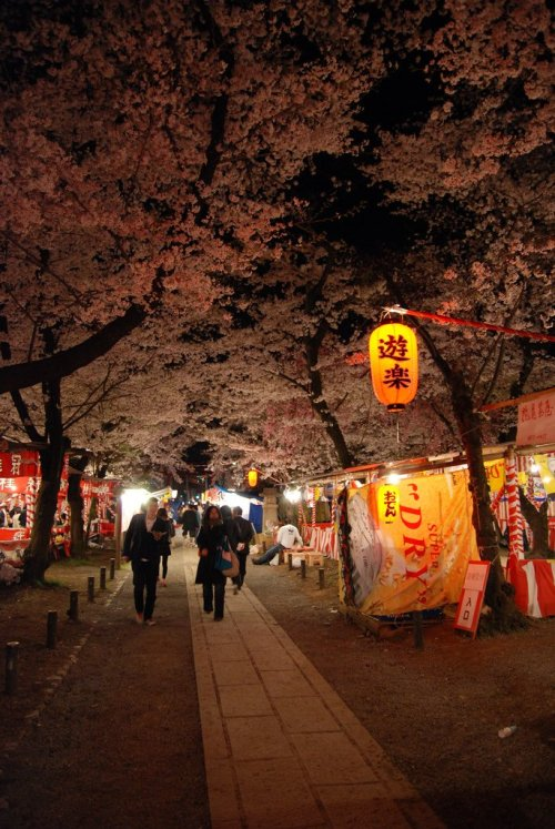 hirano_shrine_cherry_blossoms_in_kyoto