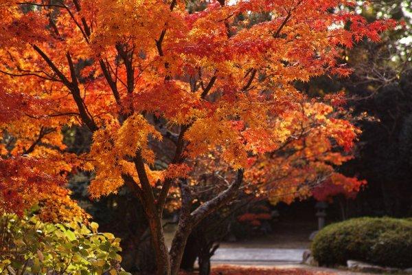 japanese_maple_leaves_autumn