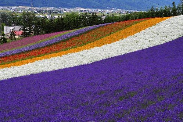 lavender_and_flower_field_in_hokkaido